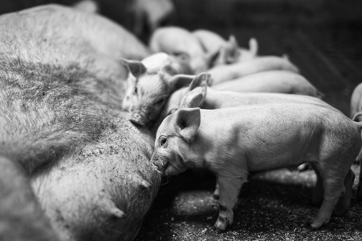 Suckling-piglets-NV-00128- Photo_Frank_Holm_LR